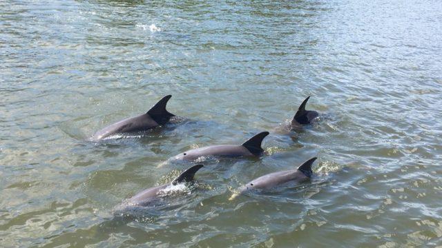 Dolphin Pod1