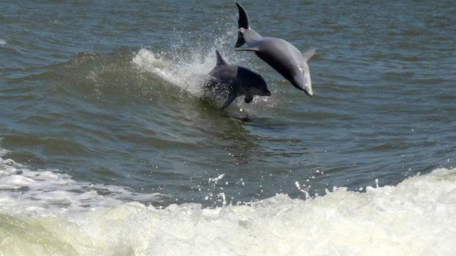 Surfing Dolphin1